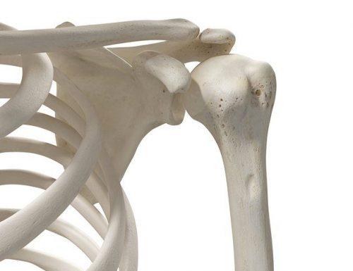Omero: osso del braccio